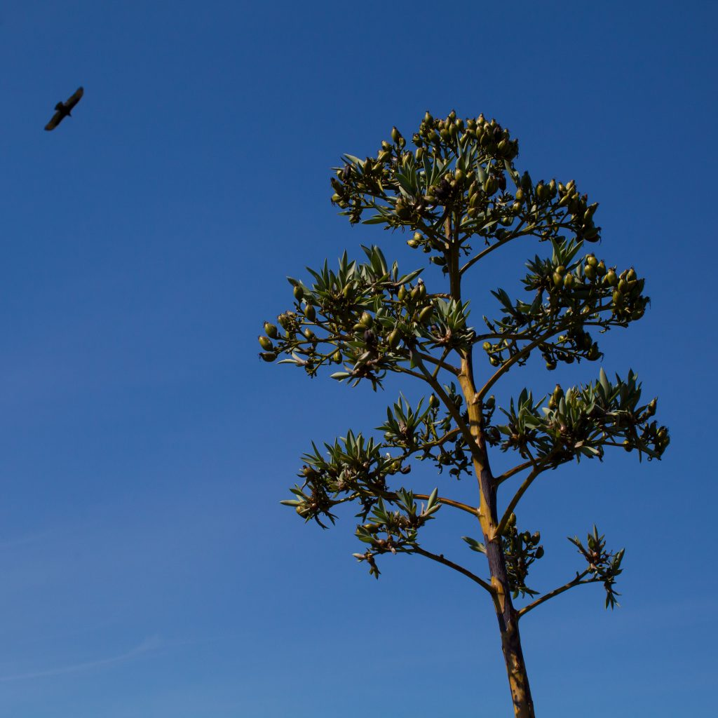 Quiote de agave con semillas y clones.