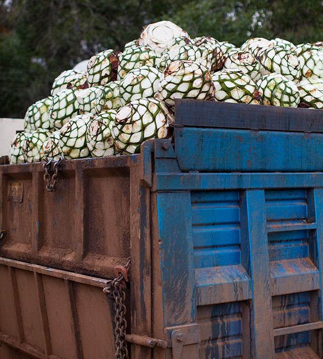 Camión lleno de agave piñas.