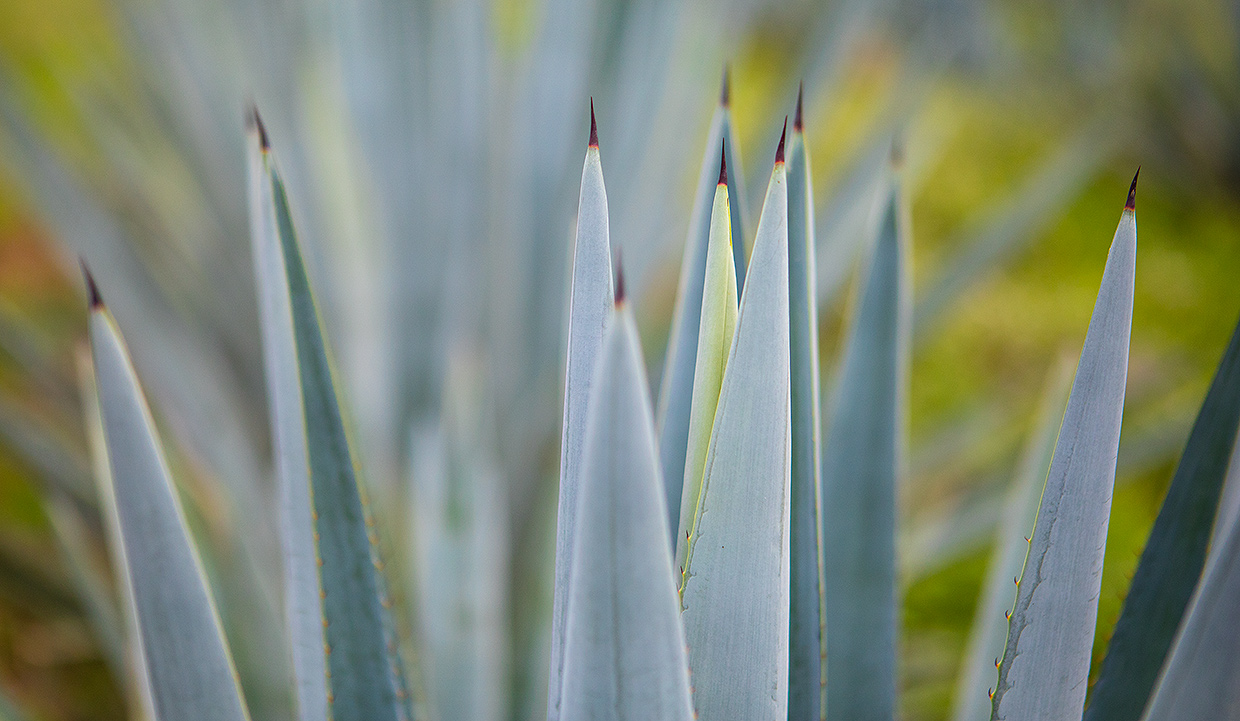 Weber Blue Agave Leaves