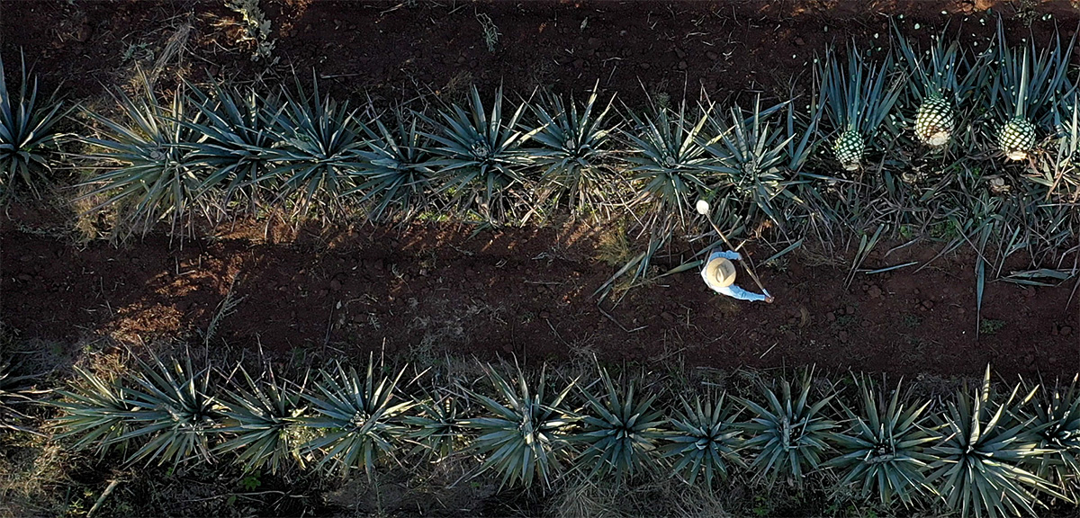 Agave field from above